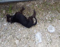 Νεκρό σκυλάκι από φόλα στην Ψίνθο